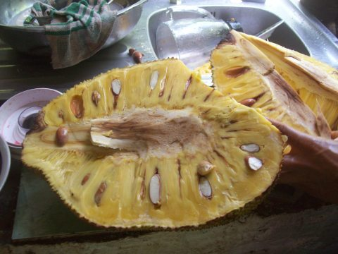 A jackfruit fresh from the tree!