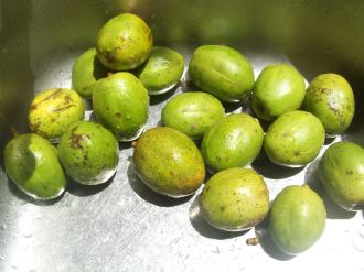 Green juneplums ready for juicing