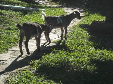Baby ram goats on walkway