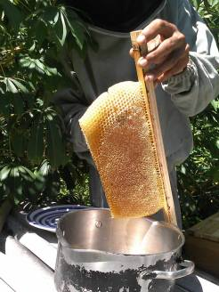 Cutting the honey comb off of the top bar