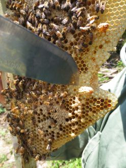 Getting stung, working hard, sweating in the heat, swearing, eating a taste of pollen and honey...