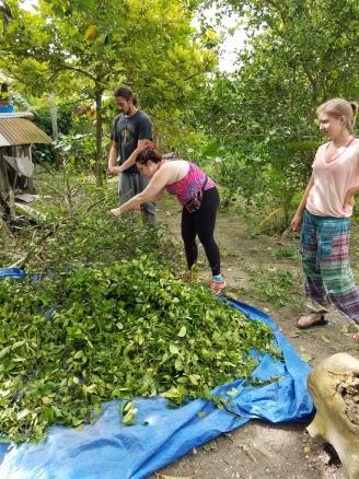 Picking lime leaf for distillation