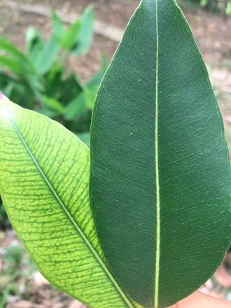 Ribena Leaf