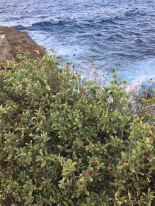 Sea Oxeye